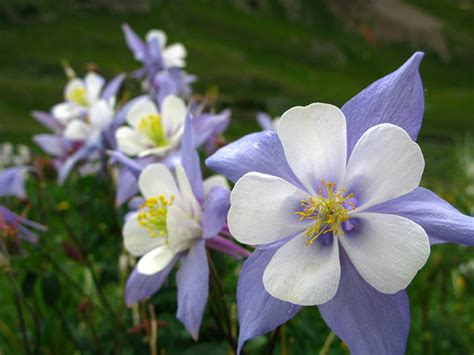 colorado state flower rocky mountain columbine