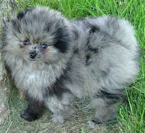 lavender merle pomeranian related keywords suggestions for merle pomeranian