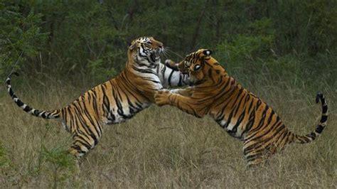 Ng Live ng live steve winter alan rabinowitz tigers forever