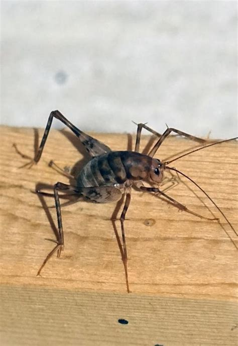 spider crickets the bugs you don t want in your house