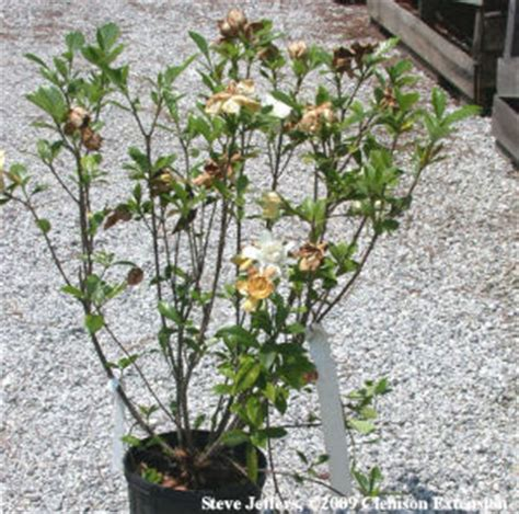 Gardenia Diseases Hgic 2058 Gardenia Diseases Other Problems Extension
