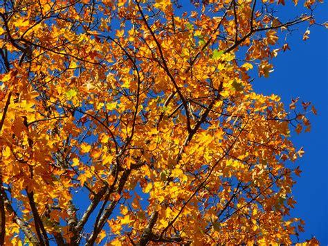 colorful tree free photo autumn colorful tree leaves free image on