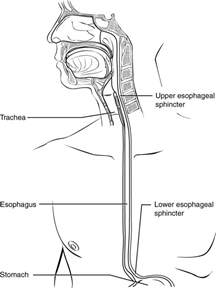 sketch book lumen the pharynx and esophagus anatomy and physiology ii