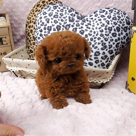 micro poodle puppy micro chocolate poodles