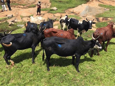 Bibit Sapi Di Bengkulu laporan pasar industri daging sapi asia tenggara beef central