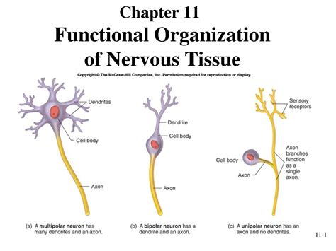nervous tissue labeled diagram quiz 1 biology 100 biology 100 with moss at imperial