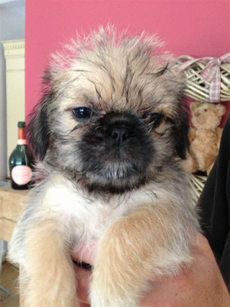 pug shitzu cross shuggle puppies shih tzu cross pug leicester leicestershire pets4homes