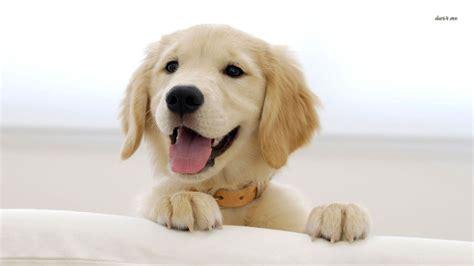 smiling golden retriever golden retriever puppy smiling wallpaper