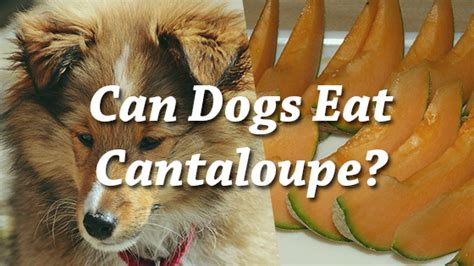 can eat cantaloupe can dogs eat cantaloupe pet consider