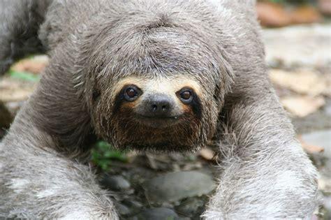 sloth animals pets beasts pinterest