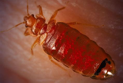 Can You See Bed Bugs With The Eye by Bed Bug Treatment Minneapolis St Paul Pest Mn