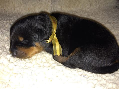 rottweiler puppies gallery miadre rottweilers