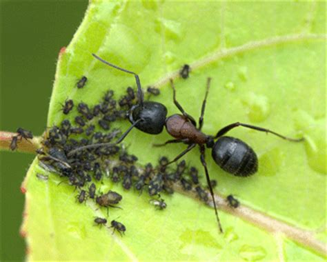 do ants eat aphids carpenter ant about carpenter ants how to get
