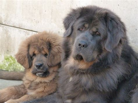 mastiff puppy for sale tibetan mastiff puppies for sale oloom