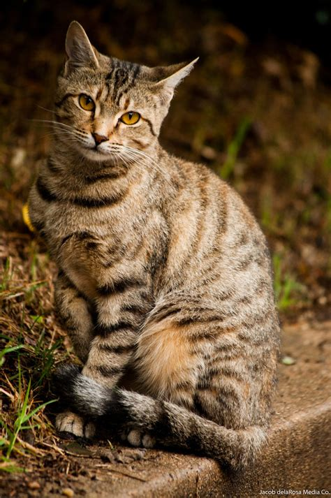 Cat Ct010 Brown Yellow tabby cat by jndphotography on deviantart