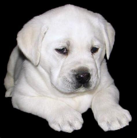 white retriever puppies white labrador retriever puppies