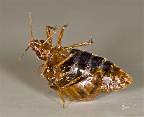 bed bug transmission bed bug facts and information