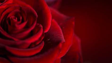 background design red rose 7 jpg