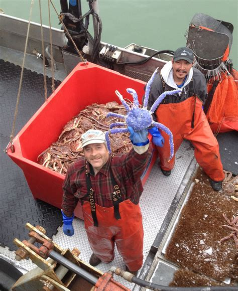 blue colored king crab in alaska daily mail