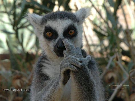 Lemur Meme - lemur test quickmeme