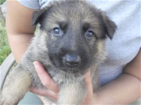 puppies for sale charleston wv german shepherd puppies in west virginia