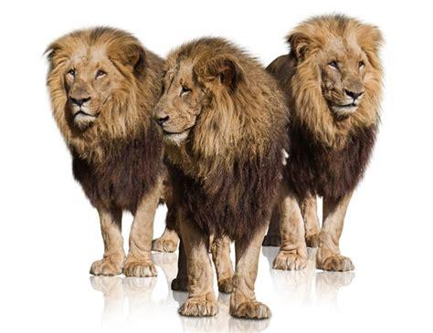 imagenes de tres leones juntos el arte de la estrategia lo mejor es vencer sin combatir