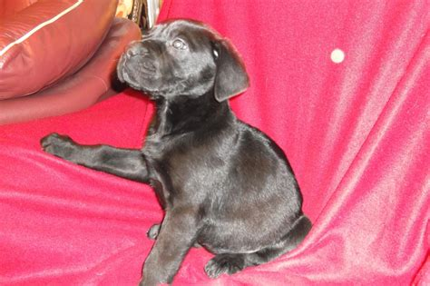 great daniff puppies for sale blue daniff for sale breeds picture