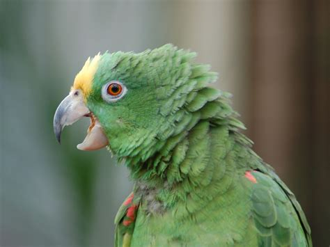 Parrot L by The Zoo Yellow Crowned