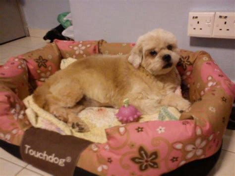 my shih tzu has bad breath pomeranian pekingese for adoption 14 years 11 months mica from kuala lumpur