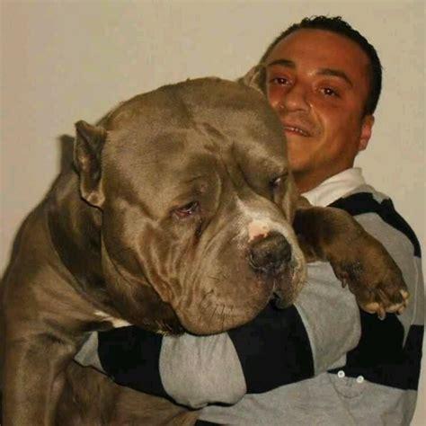 Large Pit Big Boy Pit Bull