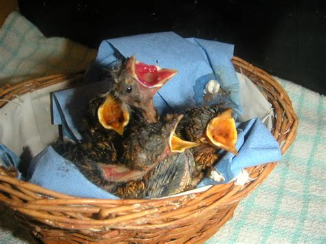 what to feed an injured baby bird wiring diagrams repair