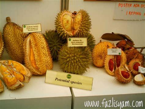 Benih Durian Udang Merah durian sabah durian isu durian pakan durian merah