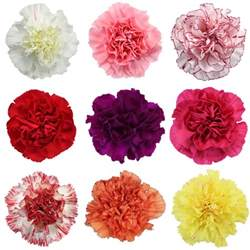 carnation colors mixed color carnation flowers