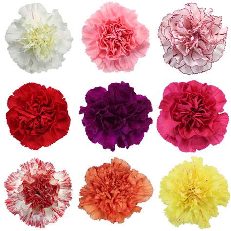 mixed color carnation flowers