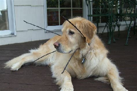 blind dogs blind dogs net where dogs see with their blind collar plan