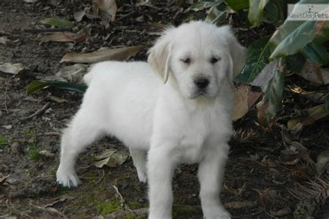 golden retriever puppies for sale in ny state akc golden retriever puppies white price