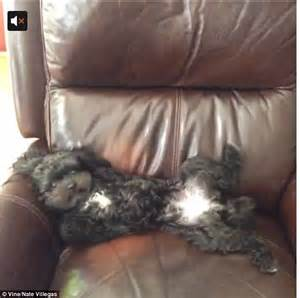 Dog Armchair Adorable Video Of Fluffy Dog Jumping Onto Armchair And