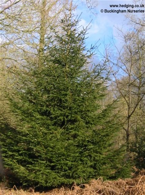 spruce norway picea abies christmas tree pictures
