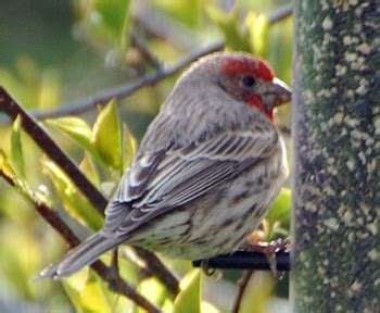 house finch lifespan house finch life on 12 acres