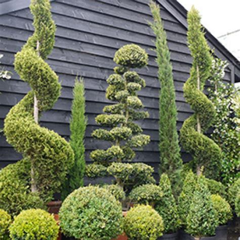 topiary plants for sale topiary trees interesting two topiary trees topiaries