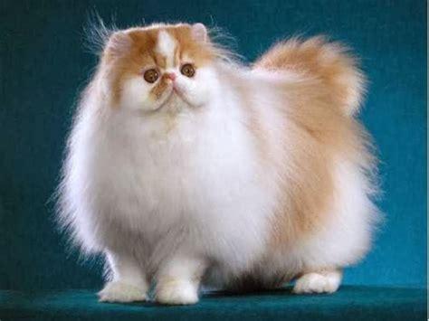 memelihara kucing persia tips memberi makan kucing persia panduan cara merawat kucing persia yang hamil hewan ternak