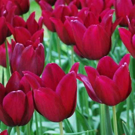 what color are tulips tulip merlot wonderful color tulips