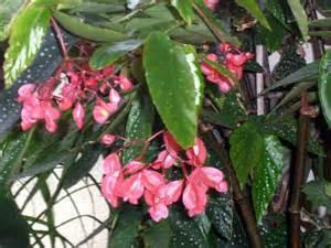 Bien Plante D Interieur Facile #3: begonia-bambou-tamaya.jpg