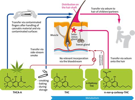 Thc Detox What Works What Doesnt by Hair Test For Marijuana Proves Nothing Realclearscience