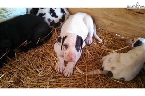 great dane puppies near me puppies for sale near me gnewsinfo