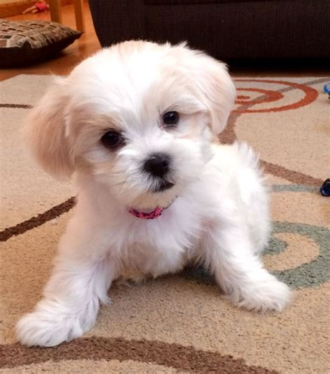 shih tzu mixed puppies 25 best ideas about shih tzu mix on shih tzu maltese mix bichon shih tzu