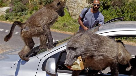 baboons attack cape of south africa finds peaceful solution to human baboon tussle