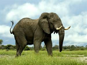 le elefant zoo ro animale salbatice din rasa elefant