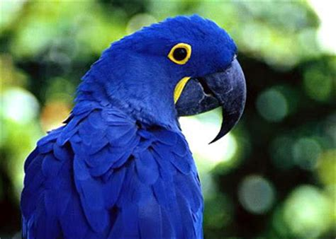 hyacinth macaw facts hyacinth macaw habitat diet