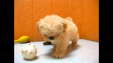 lhasa apso puppies craigslist lhasa apso puppies dogs for sale in newark new jersey nj 19breeders paterson